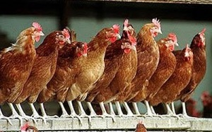 Some of Bronwyn Bishop's chickens coming home to roost