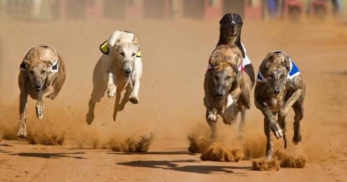 Racing greyhounds - Shutterstock Francois Loubser.jpg
